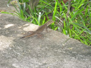 3586-Biriwa_Beach_Resort_lizard